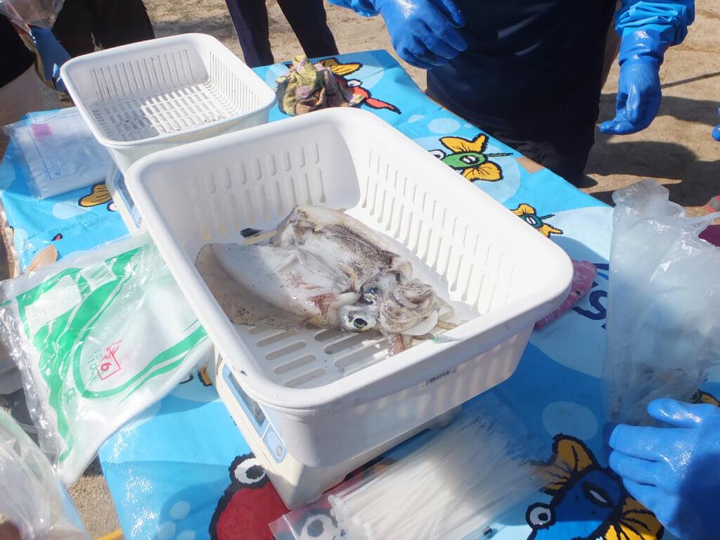 検量の様子。昨年と比較して釣果もよく、続々とアオリイカが持ち込まれた