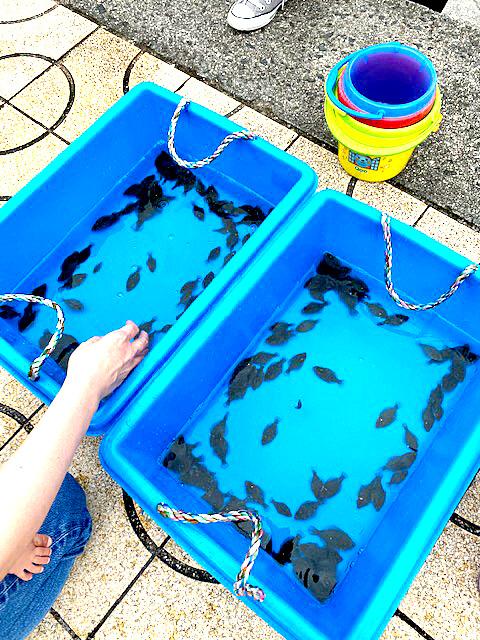 放流されたマコガレイの稚魚