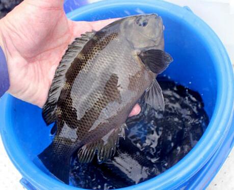 今回放流されたグレ(メジナ)の稚魚は10㎝―25㎝、約5000尾