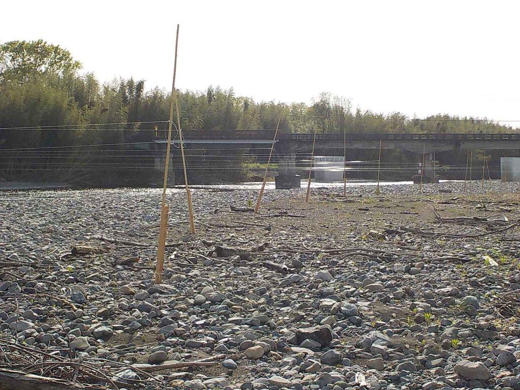 安曇川のカワウ対策