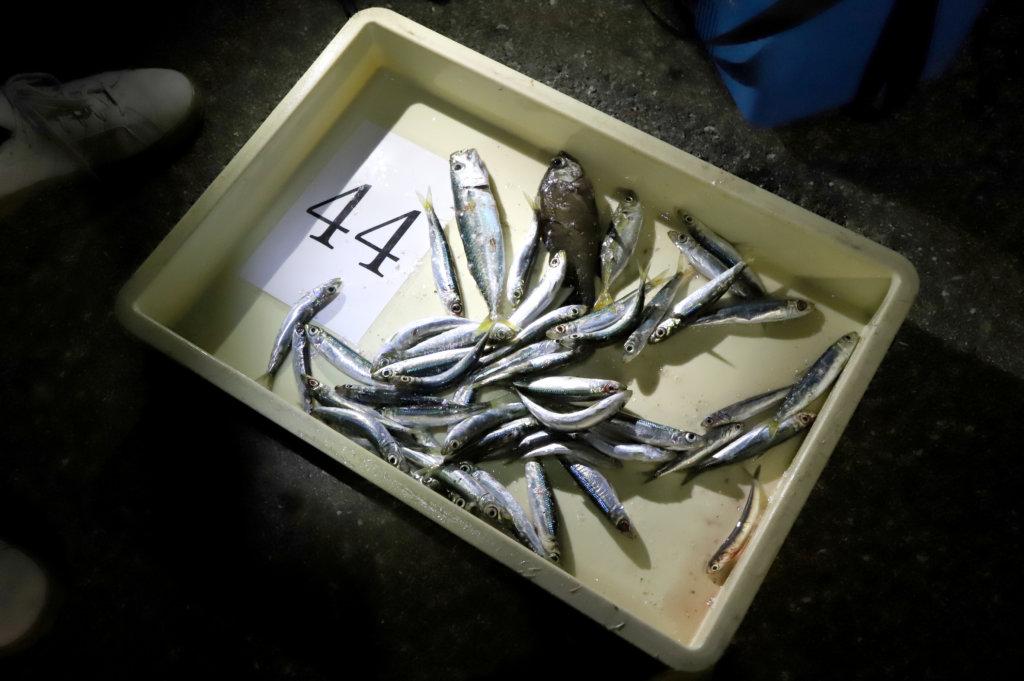 泉大津フェニックスで行われた海釣り体験イベントの釣果