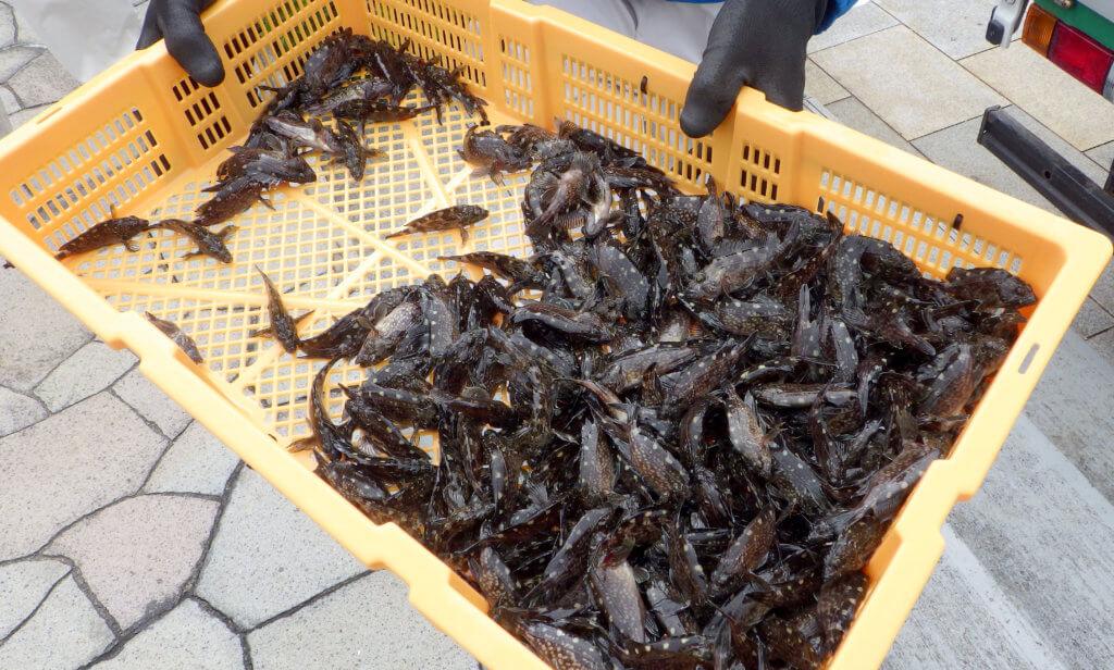 今回放流したカサゴの稚魚のサイズは平均60㎜前後だった