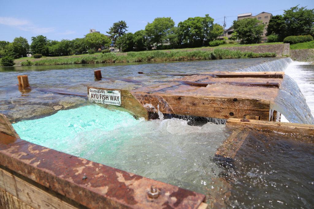 京の川の恵みを活かす会が設置した仮設魚道